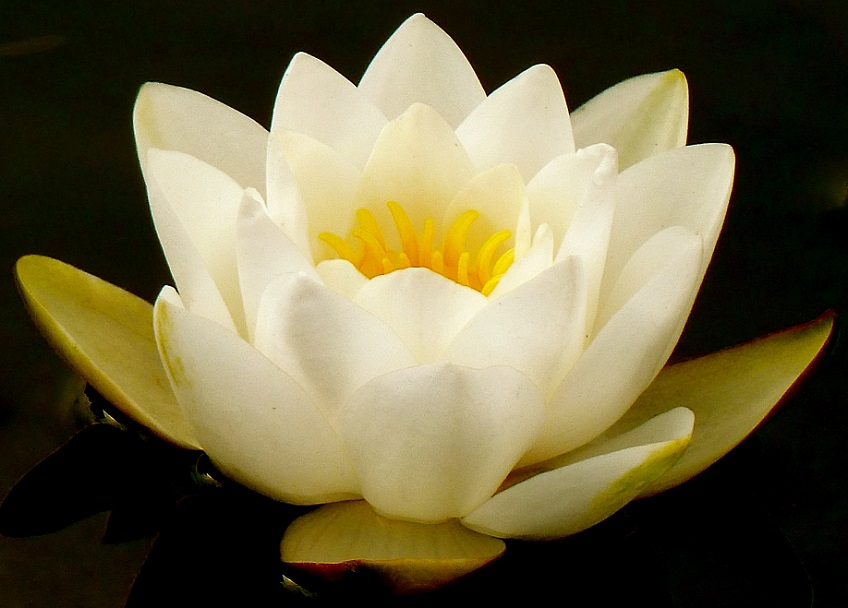this is a picture of a water lilly